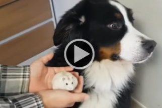Hilário: cachorro medroso não fica à vontade ao lado de novo pet da casa