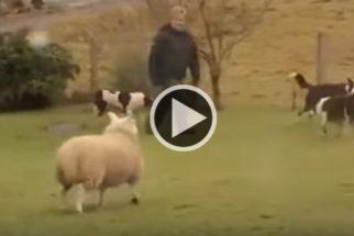 Para rir: cansada de ser 'gado', ovelha decide que quer ser cão pastor