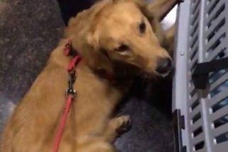 Após viagem de avião, cachorro é devolvido com vários ferimentos