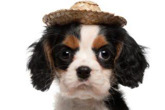São João: Dicas para levar seu cãozinho nas festas juninas