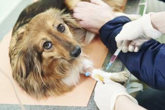 Você sabia que cães e gatos podem doar sangue? Veja mais sobre o tema