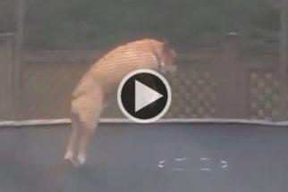 Cão brincando em trampolim é a coisa mais divertida que você vai ver