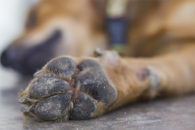 Cães com paralisia podem ser tratados com fisioterapia