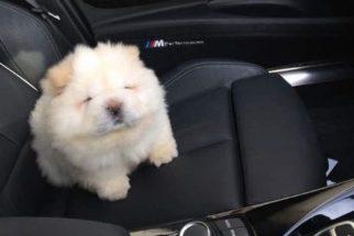Conheça Puffie, um cãozinho que mais parece uma bolinha de algodão