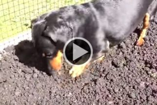 Habilidoso: O salsichinha, Crusoe, ajuda tutor a montar horta orgânica