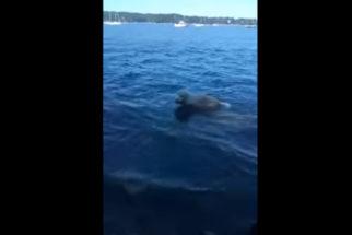 Herói: cachorro pula no mar para salvar filhote de cervo