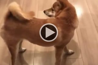 Shiba tentando pegar a própria cauda rende boas gargalhadas