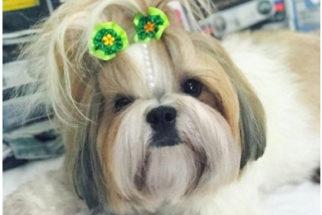 7 de Setembro: Veja fotos de cães com roupinhas verde a amarelo do Brasil
