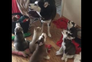 Husky ensinando seus filhotes a uivar é a coisa mais fofa que você vai ver hoje!