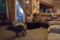 Para rir: Cãozinho hiperativo arranca risadas de seus tutores!