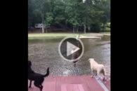 Fofura: Tutor pula em lago e cães se desesperam para salvá-lo