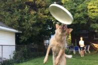 Vídeo em câmera lenta mostra cãozinho 'falhando' ao tentar pegar frisbee