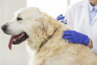 Os cães sofrem com diabetes; saiba causas, sintomas e tratamentos