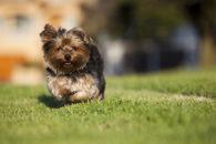Doenças neurológicas em cães podem ter como causa a genética e/ou infecções