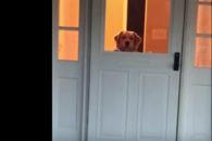 Alegria de golden retriever quando tutor chega em casa irá derreter seu coração