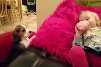 Filhote pequenino dá o seu melhor para subir em sofá e brincar com criança
