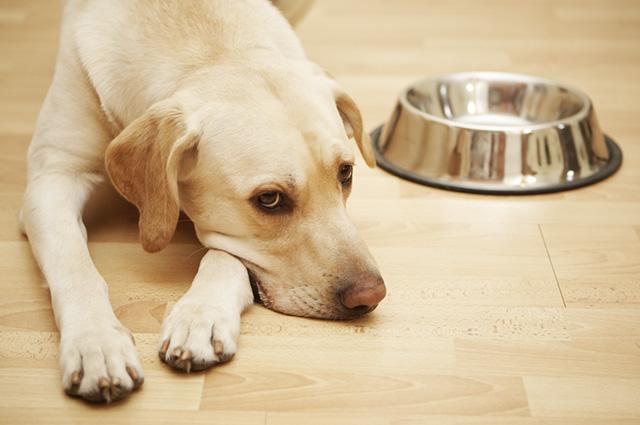 Se seu cachorro não quer comer, tente identificar a razão ou consulte um veterinário