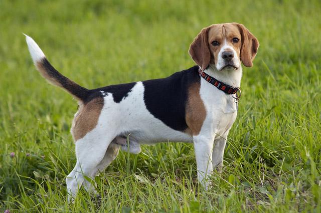 Uma das raças que se dão bem com outras espécies é o beagle