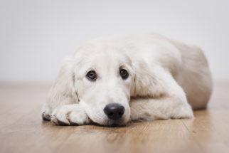 Doenças virais em cães