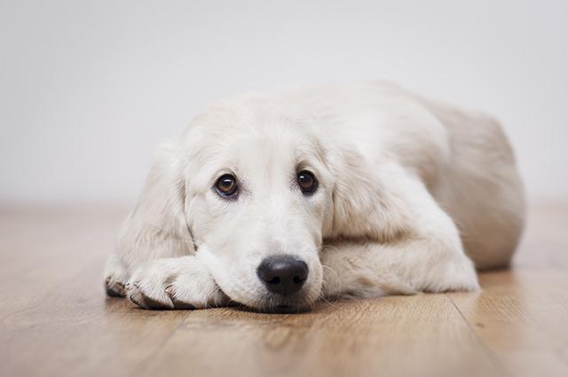 A cinomose é uma doença viral que ataca o sistema respiratório dos cães