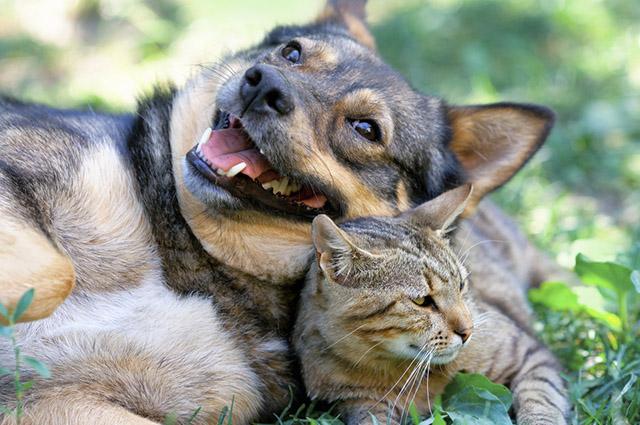 Existem pelos menos sete raças que se dão bem com gatos