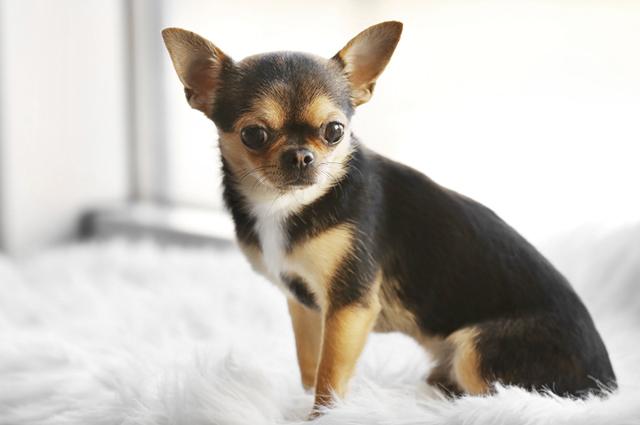 Os cachorros que não crescem muito são ideais para se criar em apartamentos