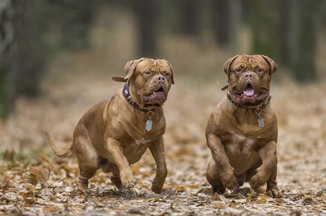 O dogue de bordeaux vive entre cinco a oito anos