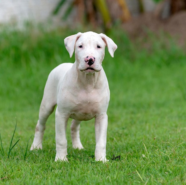 Dogue brasileiro filhote
