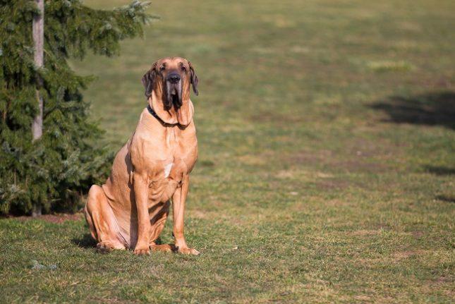 Raças de cachorros brasileiros