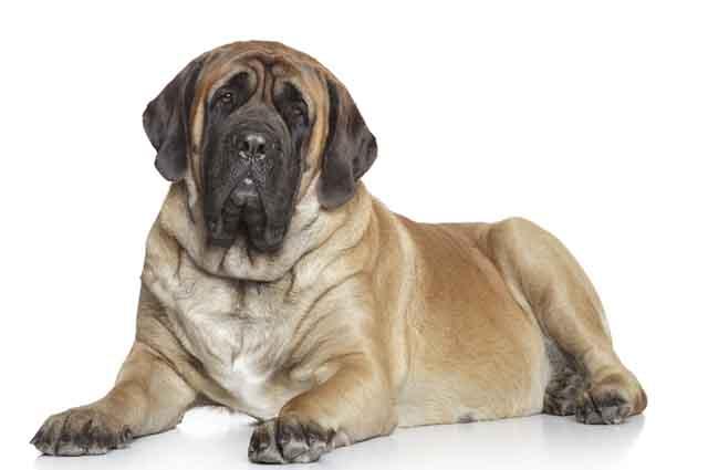 O mastiff inglês pode viver de seis a 10 anos