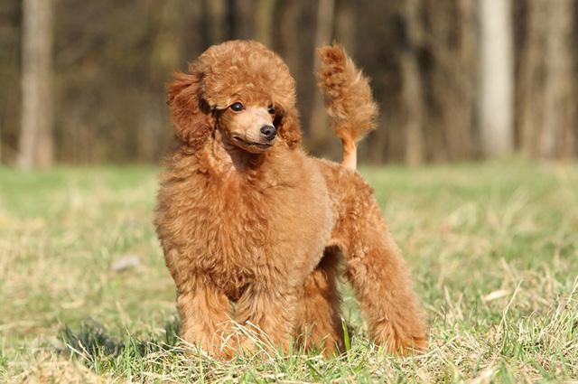 A altura do menor tipo de poodle pode variar de 25 a 28 centímetros