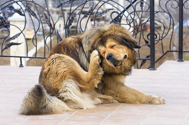 Um dos indícios de alergia em cães é a coceira excessiva