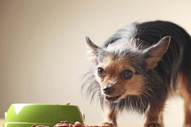 Em alguns casos a ração para cães idosos pode ser substituída por uma alimentação caseira