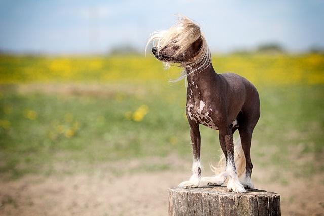 Cão de crista chinês ao ar livre