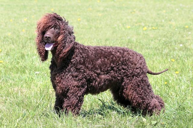 Cão d'água irlandês na grama