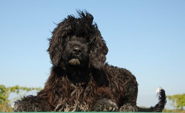 Cão d'água português deitado