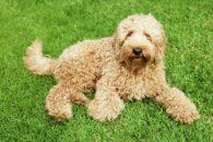 Cães que são hipoalergênicos