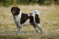 Cão d'água frison – Saiba tudo sobre esta raça