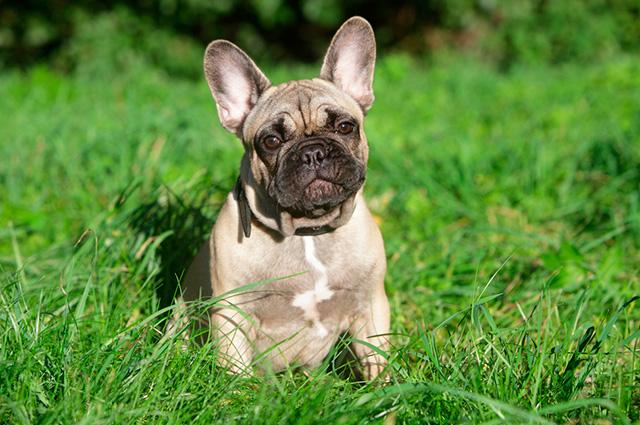 É importante saber da personalidade e comportamento do buldogue francês antes de adotar um
