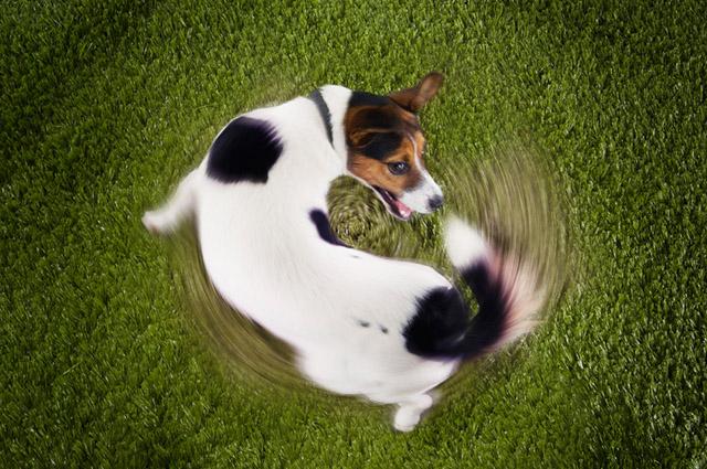 Os cachorros balançam a cauda num reflexo para suas percepções