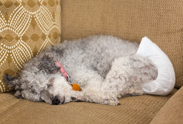 Cão dormindo de fralda