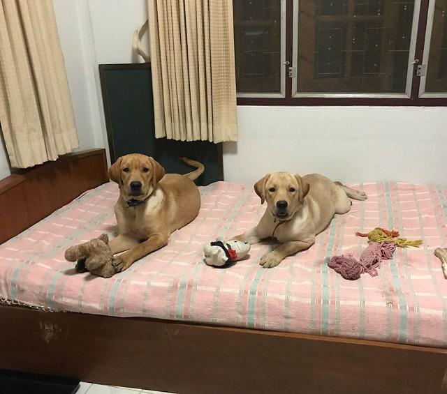 Labradores na cama