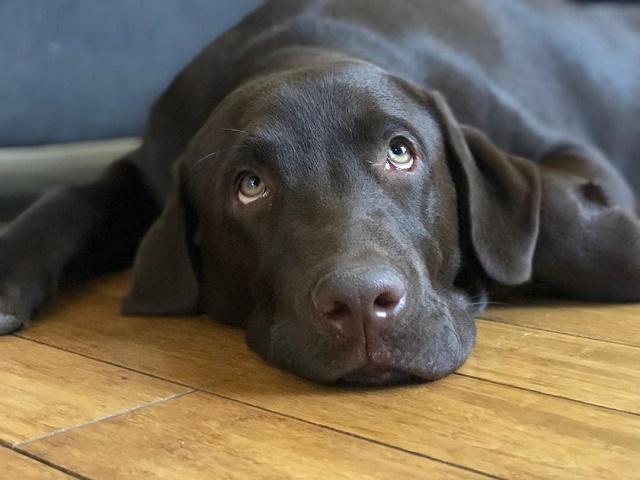 Labrador com cara de tédio