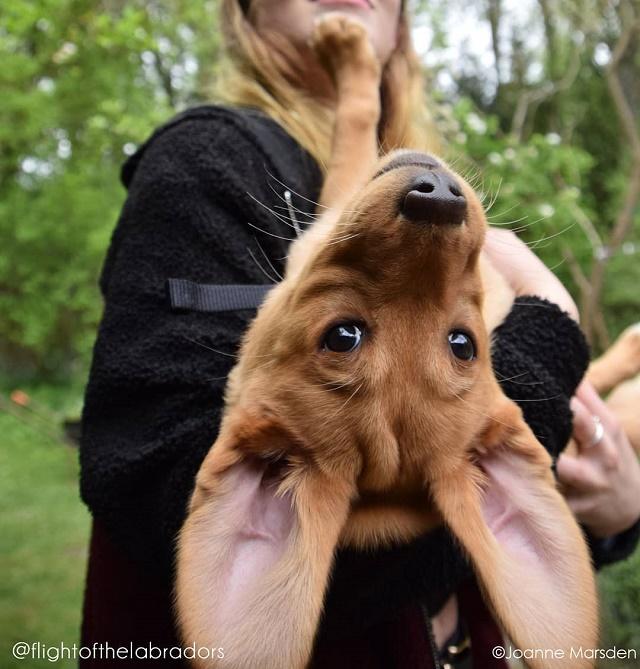 Labrador de cabeça para baixo