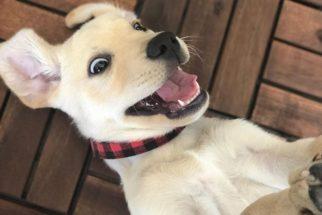Labrador: 25 fotos de cães dessa raça fazendo caretas