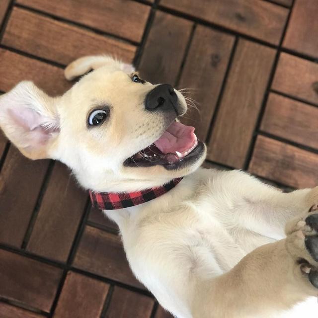 Labrador filhote surpreso