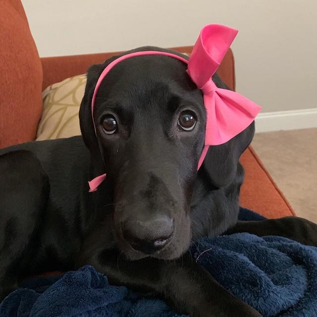 Labrador com laço