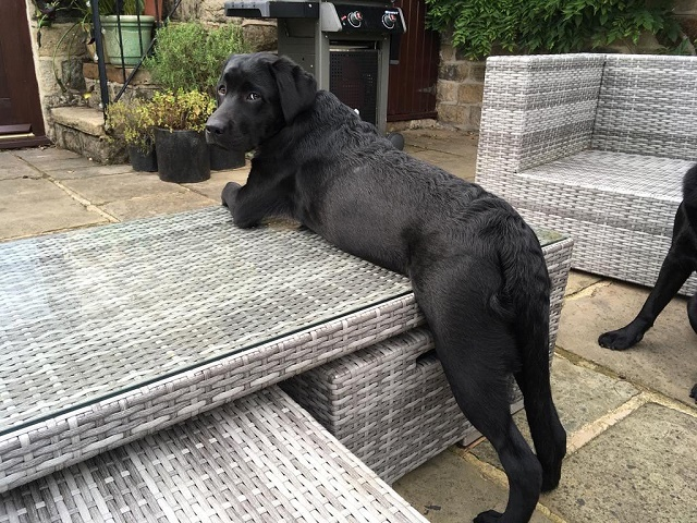 Labrador em cima da mesinha