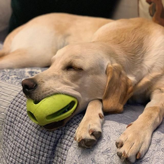 Labrador dormindo com brinquedo