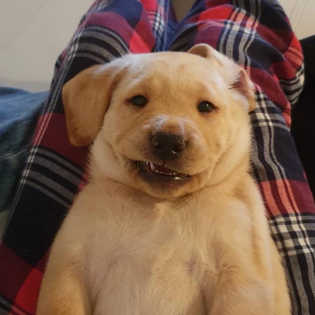 Labrador filhote no colo da mãe